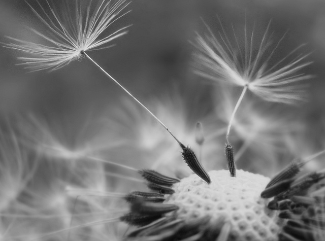 Black and White Close up ofDandelion